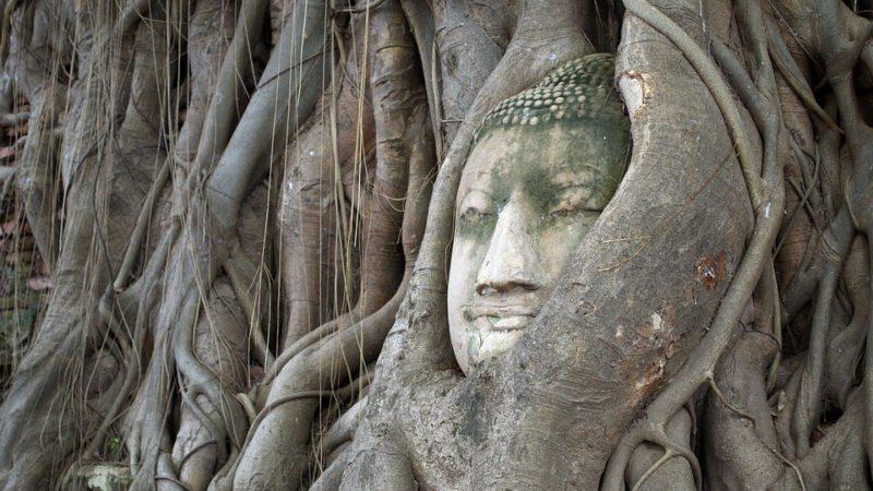 peepal tree bodhi
