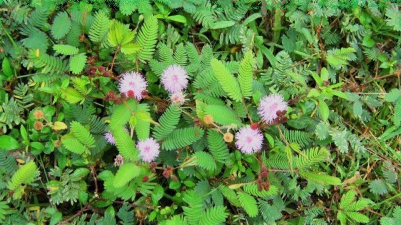 ಮುಟ್ಟಿದರೆ ಮುನಿ ಗಿಡ muttidare muni plant
