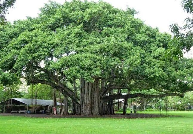 peepal tree ashwatha vrukhsa